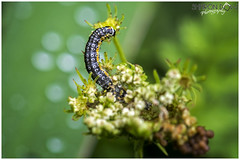 The caterpillar of the Depressaria Daucella moth (Sharon Dow Photography) Tags: uk flowers wild england macro nature insect nikon westsussex britain wildlife ngc moth lepidoptera caterpillar tiny horsham naturalworld nationalhistory cowparsley southernengland southeastengland 105mm 2016 warnham insecta verysmall warnhamnaturereserve depressariadaucella depressariidae d7100 waterdropwort depressaria nikond7100 sharondowphotography june2016 oenanthespp