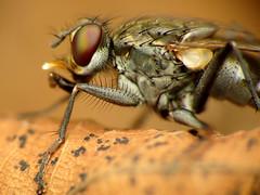 Fierce Muscid (treegrow) Tags: nature insect washingtondc fly rockcreekpark arthropoda diptera lifeonearth raynoxdcr250 muscidae lispe taxonomy:genus=lispe canonpowershotsx40hs