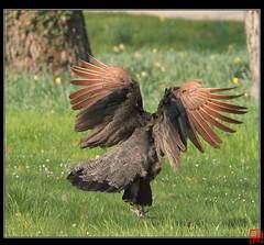 Pour la parit ! (mamnic47 - Over 6 millions views.Thks!) Tags: vol boulognebillancourt paon bagatelle atterrissage femelle img6741 30032012