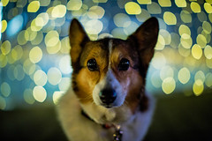 I Wish I Was Special (moaan) Tags: dog digital 50mm lights corgi nightlights dof bokeh walk illuminations utata emergence welshcorgi stroll 2012 emerge f12 appeal appealing pochiko ef50mmf12lusm canoneos5dmarkiii