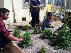 Students harvesting cilantro