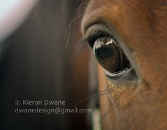 Stop Horsing About.... (Kieran Dwane Photography) Tags: show ranch wild portrait horse pet brown white black eye nature beautiful beauty up animal sport closeup rural standing pose hair mammal outdoors bay mare close view image head farm background young posed ears competition domestic pasture western chestnut runner stable equestrian isolated stallion equine mane bridle sorrel equitation gelding