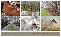 storyboard ~ California Almond Blossoms (champbass2) Tags: lines rows almonds storyboard orchards calfiornia almondblossoms californiaagriculture champbass2 kimklassen beyondlayersii californiaalmondblossoms