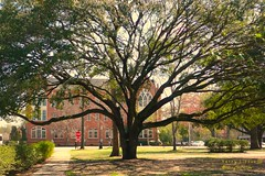 Old tree on Alabama campus (Harry Lipson) Tags: college campus education tide alabama tuscaloosa academia capstone crimsontide alabamacrimsontide thecapstone harrylipson copyrightbyharrylipsoniiiallrightsreservednounauthorizedusagewithoutexpresswrittenconsent