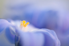 Something new, something blue (Lucky Lucas) Tags: blue flower color yellow spring colorful heart bokeh d300 sigma150mm