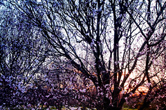 The Glow of Spring (GRO Photography) Tags: sunset tree evening newjersey glow branches nj monmouthcounty floweringplum colorefexpro blossomflower