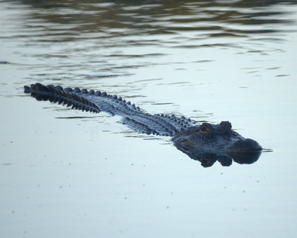 Alligator by Mike