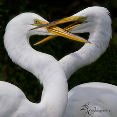 beak to beak (betty wiley) Tags: birds heart florida wildlife beaks greategrets courtship