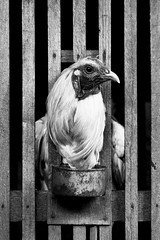 Rooster (I'm a Guinea Pig) Tags: chicken birds animals philippines streetphotography cebu dslr blackandwhitephotography mandaue canonlenses digitalblackandwhite canonef28135mmf3556is canoneos40d