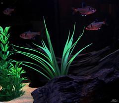 Aquarium Fishes (Mari Rasti) Tags: food fish water grass stone swim aquarium sand iran god small shiraz beautifull ife ature homeshot sonyh50 marirasti nredfish
