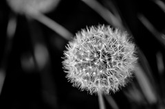 A World Of Details // (Auensen::) Tags: flowers summer white black monochrome june blackwhite nikon superb awesome details dandelion numbers summertime nikkor pure epic mathematical f28 2012 105mm perfectsequence d7000 nikond7000 nikonnikkor105mmf28 aworldofdetails