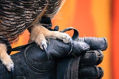 Offense, Meet Defense (derekbruff) Tags: zoo great claw talon zookeeper owl glove protective protection defense greathornedowl falconry riverbanks horned offense