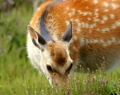"""I'm suddenly overcome with shyness!"" (SteveJM2009) Tags: uk flowers light sun eye beauty face grass june mouth fur nose focus dof bokeh head coat ears shy doe deer whiskers spots dorset arne hiding coy 2012 hairs sika stevemaskell rspb cervusnippon"