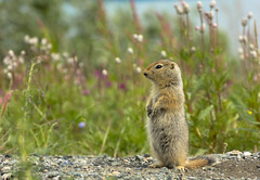 Baby arctic ground squirrel (Wroot Down) Tags: flowers baby canada cute nature animal closeup mammal wildlife yukon pup gopher groundsquirrel alaskahighway kluane yukonterritory arcticgroundsquirrel spermophilusparryii destructionbay