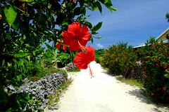(( _`) Sho) Tags: summer japan island hibiscus  okinawa   taketomi