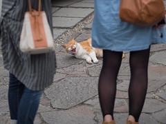 If I were a dog , I will bite you (kasa51) Tags: street city people japan digital cat kamakura f18 猫 omd ネコ 75mm em5 mzuiko 犬なら噛むよ 寝ている猫を起こしてはいけない
