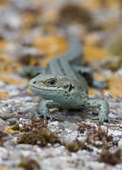 Viviparous lizard (Ronan.McLaughlin) Tags: blue ireland sea irish white beach nature coast nikon marine reptile wildlife cork atlantic lizard shore d90 nikon105mm viviparous irishwildlife ronanmclaughlin