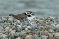 Chuuuuuut, je couve... (ÇhґḯṧtÖphε) Tags: france bird canon hiver 09 oiseau ariège charadriiformes littleringedplover charadriusdubius petitgravelot mazères christopheramos domainedesoiseaux lesamisdudomainedesoiseaux wwwchristopheramoscom petitgravelotcharadriusdubius charadriidã©s