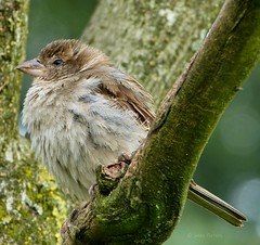 A bit sleepy sparrow (joeke pieters) Tags: bird sparrow mus vogel 227 explored platinumheartaward 1000418 mygearandme mygearandmepremium mygearandmebronze panasonicdmcfz150