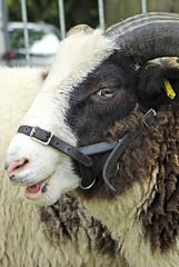 Jacob Ewe Sheep (SiCrit) Tags: wool sheep cheshire pentax horn ram blakemere k200d jacobewe akesmerefarm