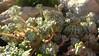 [Crassulaceae] Sedum spathulifolium (Fettblatt, Fetthenne) (pe_ma) Tags: sedumspathulifolium fettblatt fetthenne