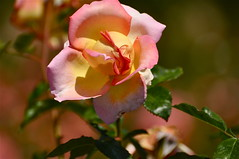 Sorbet on the Vine [Explored] (The Spirit of the World) Tags: california roses summer flower nature rose garden flora sandiego vine rosegarden balboapark rememberthatmomentlevel1 rosesonthevine