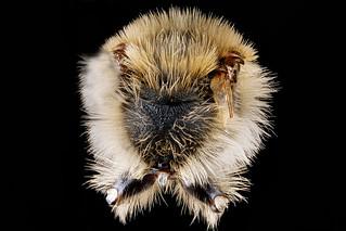 Andrena-vicina,-male,-propodeal-triangle_2012-07-19-17.14.01-ZS-PMax