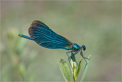 Beautiful Demoiselle (Chris Beard - Images) Tags: summer sun green water sunshine river insect stream august hampshire damselfly emerald newforest odonata crockford irredescent beautifuldemoiselle metallicgreen crockfordstrem