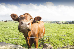 cow in field (amy_cheree87) Tags: england field cow englishcountryside englandcountryside