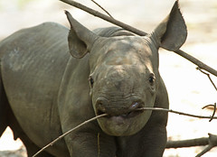 zwate neushoorn Akili geboren 6-8-2012 berlin zoo IMG_1880 (j.a.kok) Tags: rhino blackrhino neushoorn zwarteneushoorn puntlipneushoorn