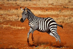 Baby Zebra Dribling [EXPLORE] 26-08-2012 (Stefano.Minella) Tags: park street 2 wild portrait baby tree male animal animals photoshop canon that landscape eos for this is photo holidays all looking with post kenya shots eating year  over some taken running days here went east safari explore most where national 7d zebra unknown l production they usm impala kicking ef f4 spent 41 tsavo giraffa 2012 stefano lightroom 70200mm the minella cs6 explored camaleopardalis dribling