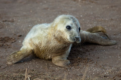 Grey Seals Pup Donna Nook (Kevin Wray-Smith) Tags: england animals donna pups lincolnshire seals nook eastcoast greyseal breading donnanook