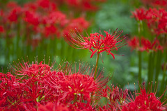 Red Spider lily (DigiPub) Tags: explore spiderlily 彼岸花 巾着田 m20151014