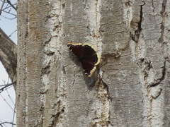 Butterfly pausing on a tree trunk (jamica1) Tags: canada tree creek butterfly bc mourning okanagan columbia trunk mission british cloak kelowna greenway nymphalis antiopa