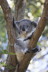 "Our ""own"" Koala (vk2gwk - Henk T) Tags: animal mammal koala marsupial phascolarctoscinereus buidel"