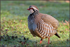 Red-legged Partridge (image 1 of 2) (Full Moon Images) Tags: red bird nature wildlife sandy bedfordshire reserve lodge partridge legged thelodge rspb redlegged