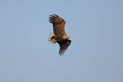 White tailed eagle visiting (derliebewolf) Tags: nature eagle wildlife natur birding adler earlymorning vgel bif birdinflight greifvgel earlybird whitetailedeagle seeadler