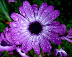 Malmequer (verridrio) Tags: naturaleza flower nature flora sony flor blumen natura fiore lils malmequer fleure brumen