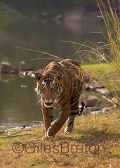 TIG01485GB_1 (giles.breton) Tags: india tiger tigers endangered ranthambhore panthera threatened andyrouse ranthambhorenationalpark pantheratigristigris royalbengaltiger dickysingh