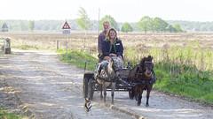 Horse carriage ride with dog company (andzwe) Tags: horses dog smile fun spring running company pony heath dust lente veld lach heide drenthe hondje paarden dames horsecarriage plezier rijtuig stof dwingelderveld veerooster drentslandschap poesta agrifirm loslopendvee