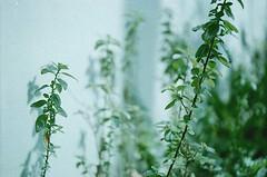 Green Scene (akurasai) Tags: morning flowers blue wild plants brown plant flower green film grass yellow analog 35mm leaf gate blossom kodak ishootfilm fresh bloom filmcamera fujica kamera industar 50mmlens filmisnotdead colorplus fujicast801 believesinfilm