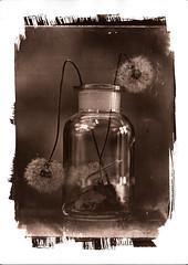 Dandelion VanDyke (Nagy Krisztian) Tags: brown glass print dandelion negative vandyke collodion