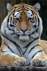 Angara @ Dierenpark Amersfoort 09-03-2016 (Maxime de Boer) Tags: cats animals zoo big tiger siberian tijger dieren tigris amersfoort dierentuin amurtiger dierenpark panthera angara altaica katachtigen siberische