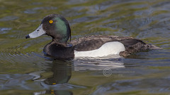 4782 Tufted Duck  (Drake) (Pete.L .Hawkins Photography) Tags: duck tufted