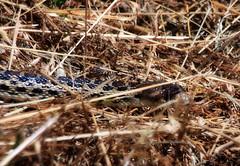 Snake at the festival (TJ Gehling) Tags: reptile snake elcerrito pituophis gophersnake pituophiscatenifer hillsidefestival hillsidenaturalarea elcerritotrailtrekkers elcerritohillsidefestival wildlifebingo