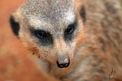 Busch Gardens: Meerkat (Jasmine'sCamera) Tags: tampa meerkat buschgardens busch