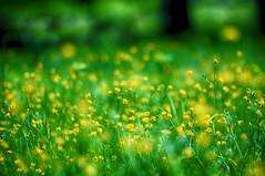 dancing in the wind -- EXPLORE (gwuphd) Tags: flowers bokeh 85mm f16 xenon cinelux buttercups iscogottingen