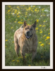 Superrrrrrboy (patrick.verstappen) Tags: flowers portrait dog pet grass animal garden photo google nikon flickr belgium image pat sigma hdr facebook picassa daiko gingelom ipernity d7100 pinterest ipiccy