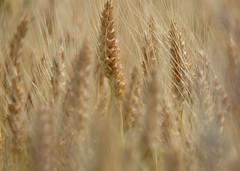 Conjunctions cluster (Goruna) Tags: field spiky wheat cluster crowded wheatfield weizen weizenfeld wheatears weizenhren goruna
