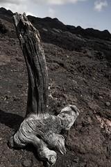 Desolation (Spencer Cooke) Tags: wood tree southamerica nature rock canon outdoors volcano lava ecuador moody dreary desolate ultrawide igneous galapagosislands isabelaisland islaisabela spencerthecookephotography